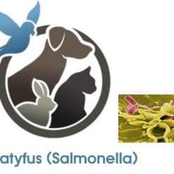 Paratyfus (Salmonella)